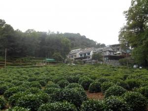 Longjingcun naast theevelden.