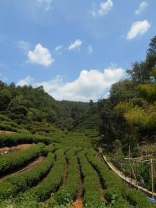 De theetuinen bij Meijiawu, een dorpje in de heuvels naast het Westelijke Meer.